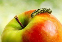 kahve falinda kurtlu elma gormek 255x175 - Kurtlu Elma