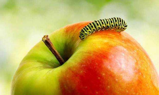 kahve falinda kurtlu elma gormek - Kurtlu Elma