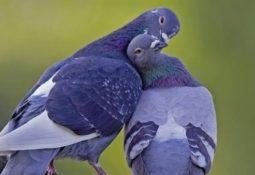 kahve falinda opusen kuslar gormek 255x175 - Öpüşen Kuşlar