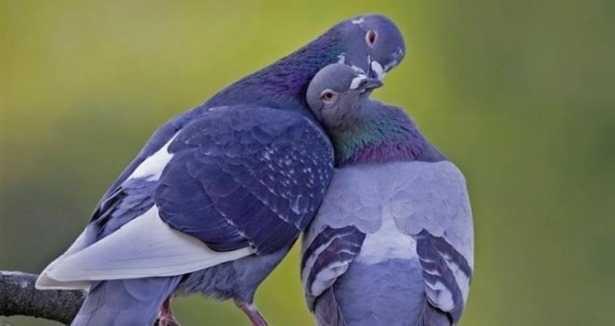 kahve falinda opusen kuslar gormek - Öpüşen Kuşlar