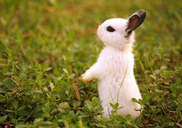 kahve falinda tavsan basi gormek - Tavşan Başı