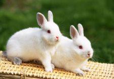 kahve falinda tavsan gormek 225x155 - Tavşan