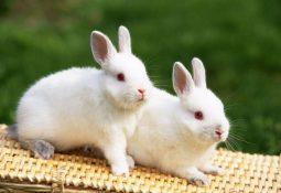 kahve falinda tavsan gormek 255x175 - Tavşan