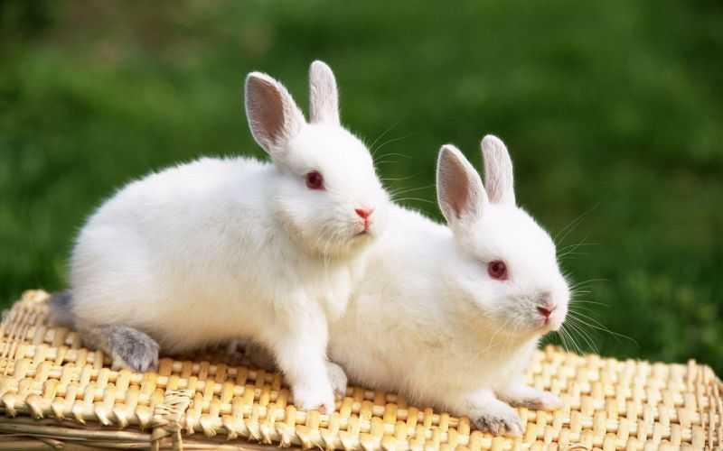 kahve falinda tavsan gormek - Tavşan