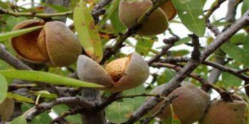 Ruyada Badem Agaci Gormek 64 350x175 - Rüyada badem ağacı görmek