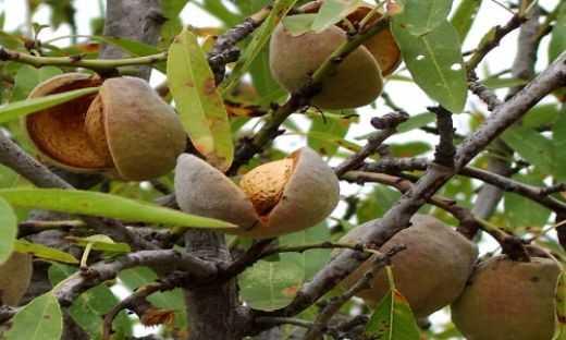 Ruyada Badem Agaci Gormek 64 - Rüyada badem ağacı görmek