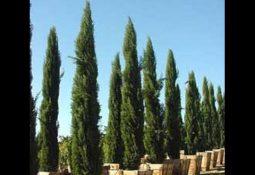 hqdefault 4 255x175 - Rüyada Selvi Ağacı Görmek