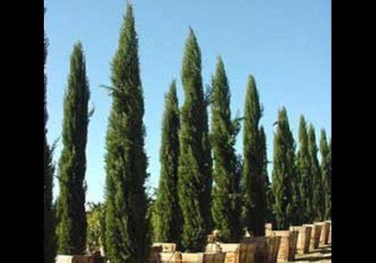 hqdefault 4 540x378 - Rüyada Selvi Ağacı Görmek