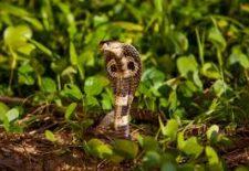 indir 82 225x155 - Rüyada engerek yılanı görmek