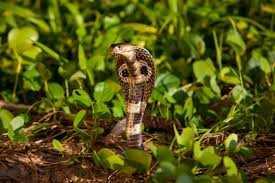 indir 82 - Rüyada engerek yılanı görmek