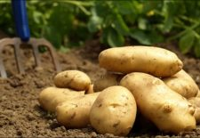 maxresdefault 225x155 - Rüyada Patates Görmek