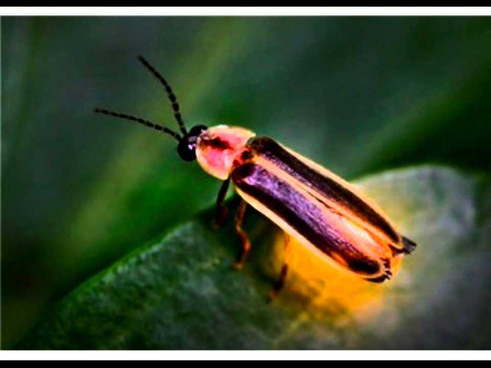 maxresdefault 49 - Rüyada ateşböceği görmek