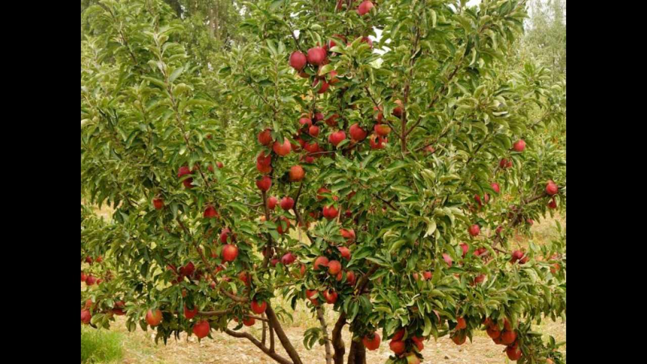 maxresdefault 54 - Rüyada elma ağacı görmek