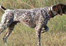 ruyada av kopegi 1 225x155 - Rüyada Av Köpeği Görmek
