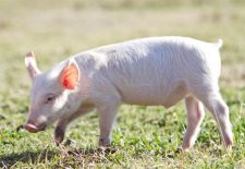 ruyada domuz gormek 225x155 - Rüyada Domuz Görmek