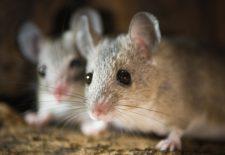 ruyada fare oldurmek 225x155 - Rüyada Fare Görmek
