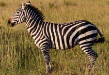 zebra 2 225x155 - Rüyada Zebra Görmek