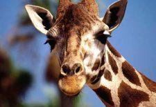 zurafa 2 225x155 - Rüyada Zürafa Görmek